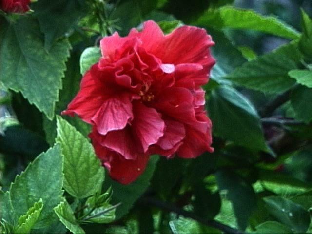 triple ruffled hibiscus | Perfect garden, Hibiscus, Garden |Triple Hibiscus