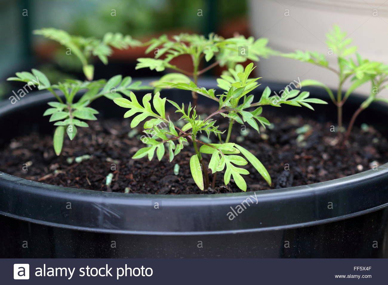 cosmos seedlings stock photos