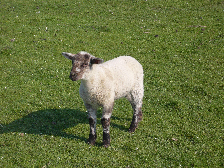 Schaf  im   Sauerland