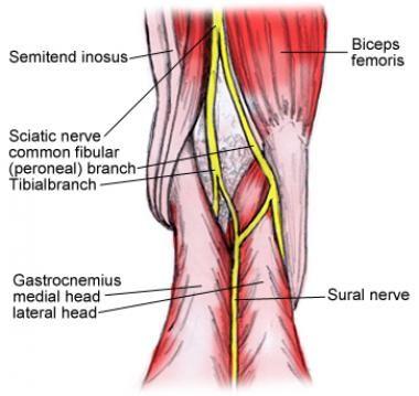 Sciatic Nerve Diagram Human Body Google Search Anatomia