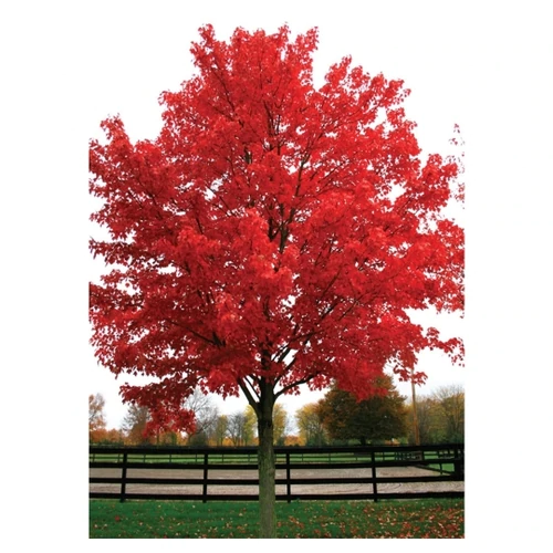 October Glory Maple Tree Red Maple Tree Maple Tree Red Sunset Maple