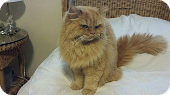 Columbus Oh Persian Meet Kayla A Cat For Adoption Pdb 19 Cat Adoption Cats Kitten Adoption