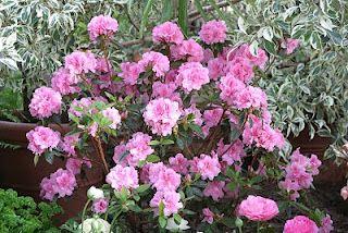 Autumn Carnation Encore Azalea