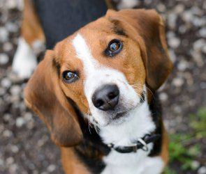 Adopt Hunter Update On Adoptable Beagle Beagle Dog Pet Finder