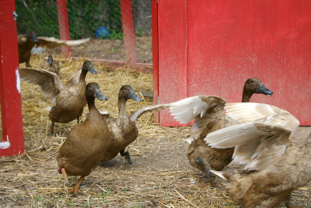 Raising Ducks | Raising ducks, Backyard ducks, Poultry farm