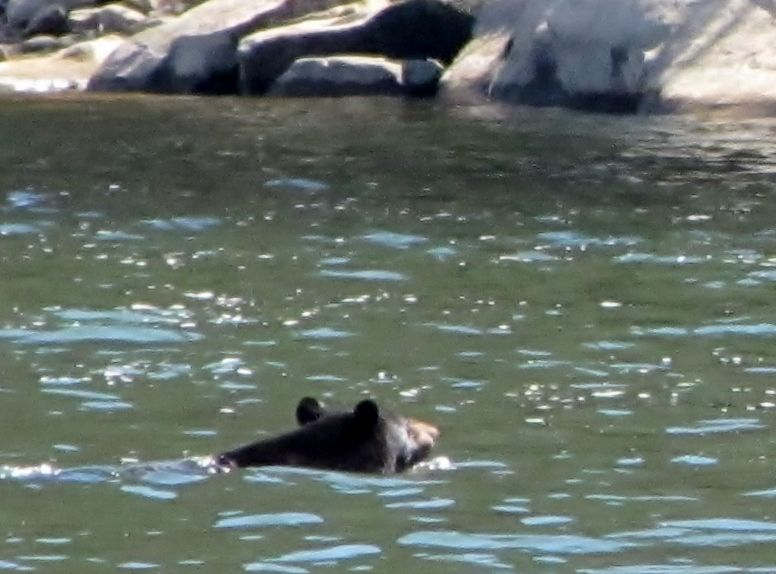 Black bear swimming the Allegheny River - by P  Downing