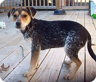 Adopted Scranton Pa Blue Heeler Beagle Mix Meet Etta A Puppy