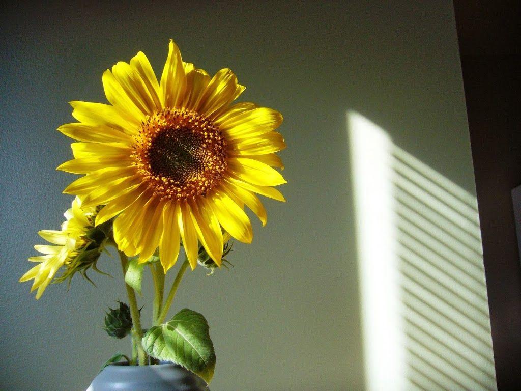 #Arranjos: Os Girassóis são plantas que amam o sol e precisam de 4 horas diárias dele para se desenvolverem e manterem sua beleza e saúde. Além disso, é preciso regá-los e sempre cuidar da terra em que for plantado.