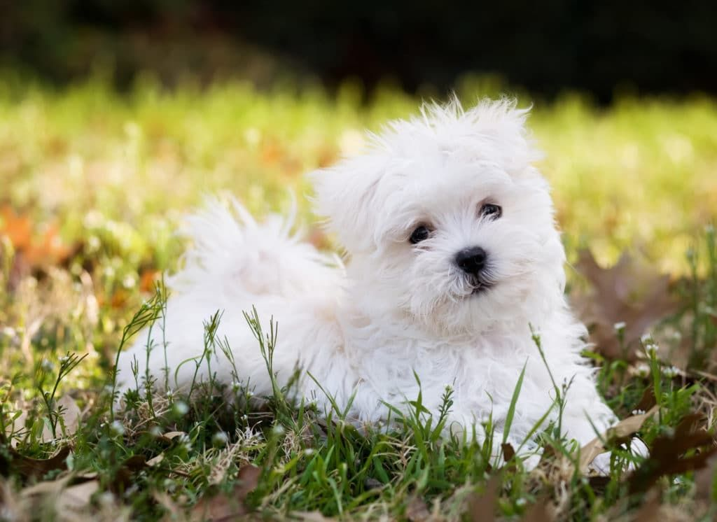15 Best Dog Foods for Maltese Our 2020 InDepth Feeding