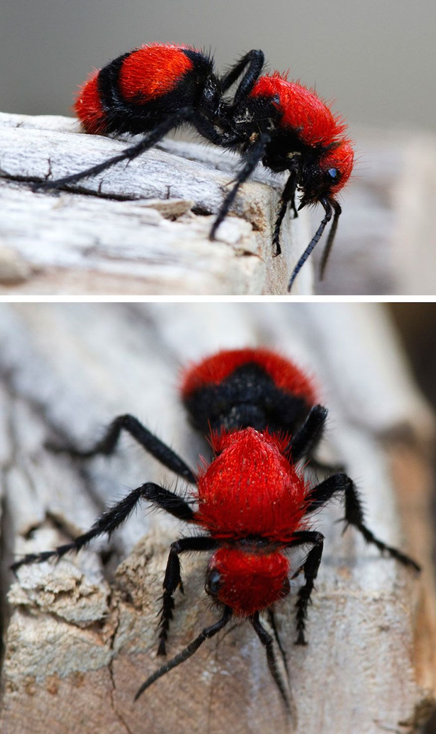 Red Velvet Ant   Interestingly, this 'ant' is actually a wasp from the Mutillidae family, which include over 3,000 different species. The females are wingless and resemble giant ants made of red velvet.