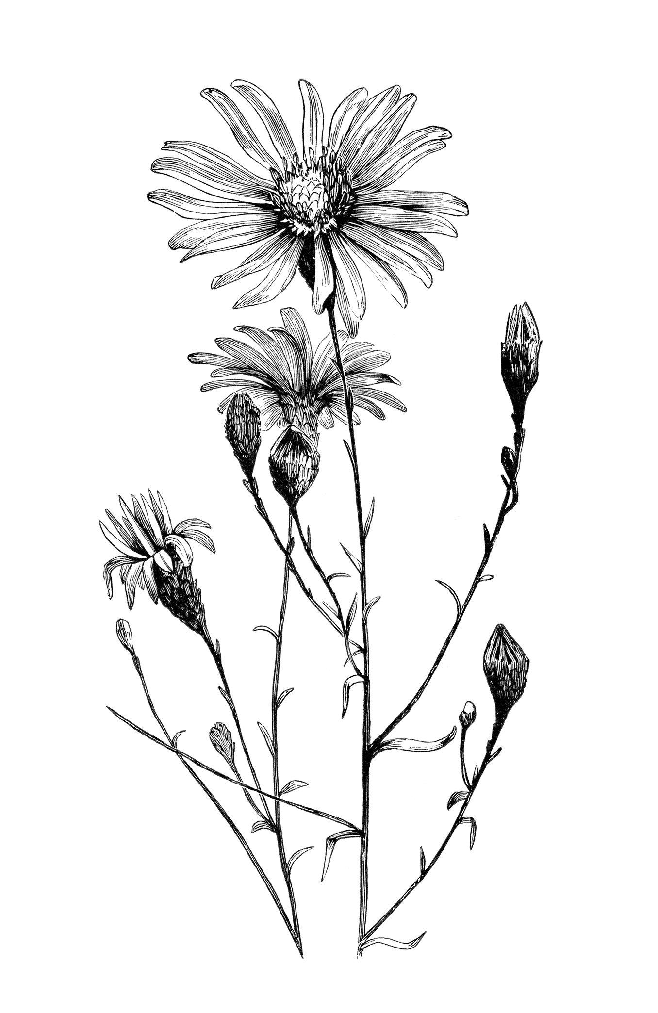 vintage flower clipart, black and white clip art, aster ...