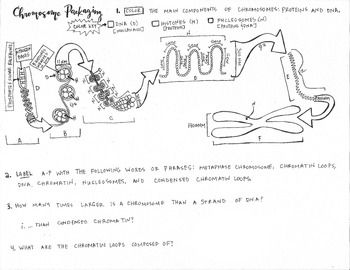 Chromosome packaging coloring sheet ap biology ap biology and chromosome packaging coloring sheet ap biology fandeluxe Image collections