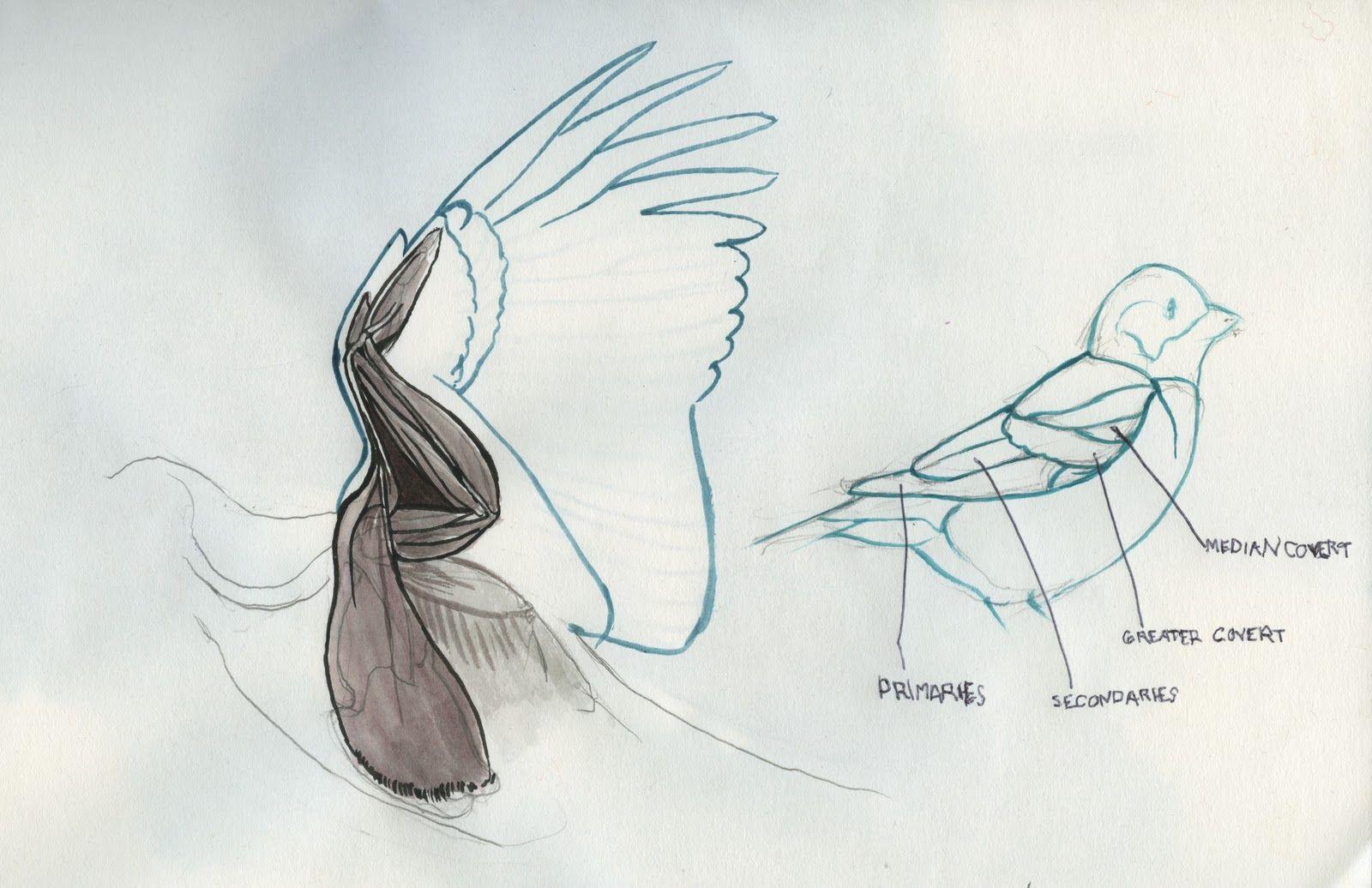 bird wings anatomy - 736×476