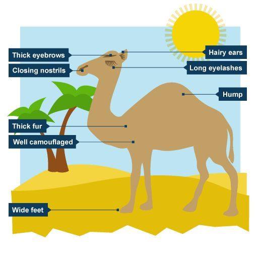 Image Result For Camel Adaptations Tpt Science Lessons Biomes