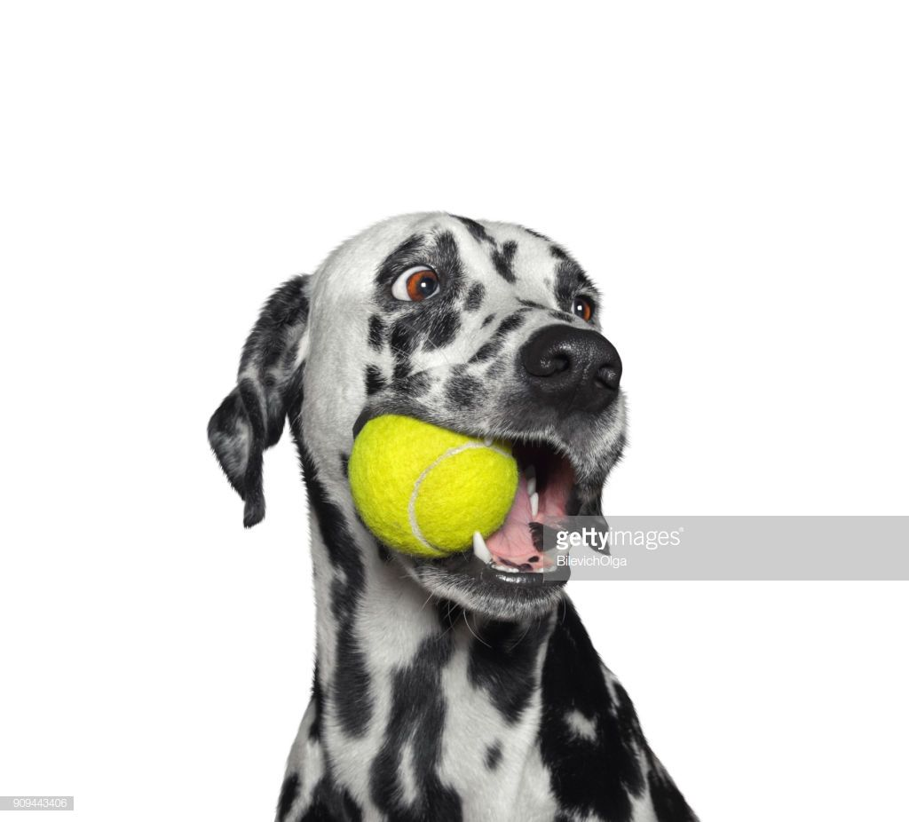 Picture Of Dog With Tennis Balls In Mouth
