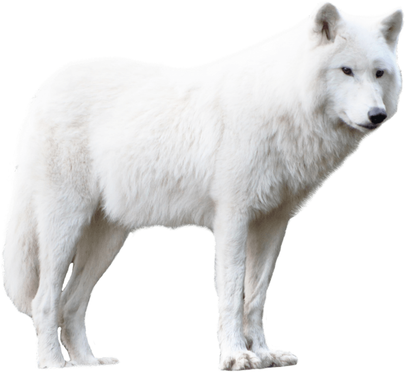 White Wolf White Wolf Wolf Animal Categories