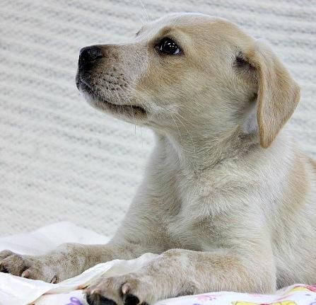Adopt Jackie On Labrador Retriever Mix Dogs Labrador Retriever