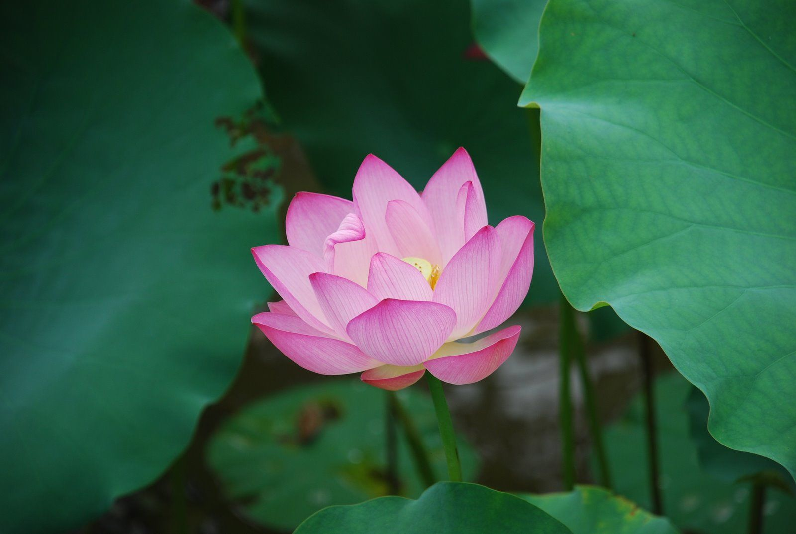 Httptravelpod Lotus Flowers On Lily Pads By Travelpod