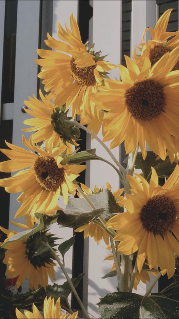 Sunflower Uploaded By Dani On We Heart It Flower Wallpaper