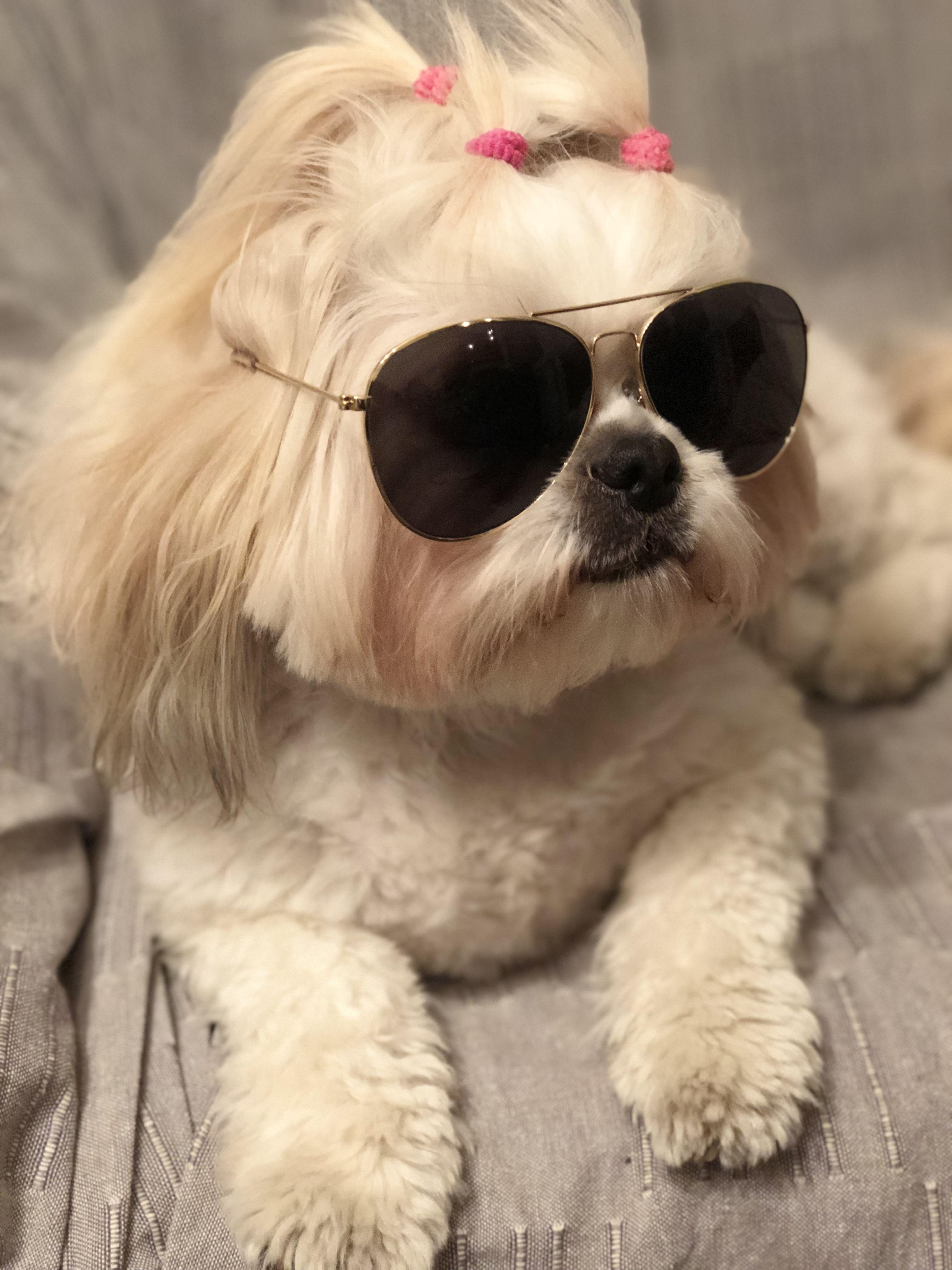 Shih Tzu Rock Star Shih Tzu Shih Tzu Dog Shih Tzus