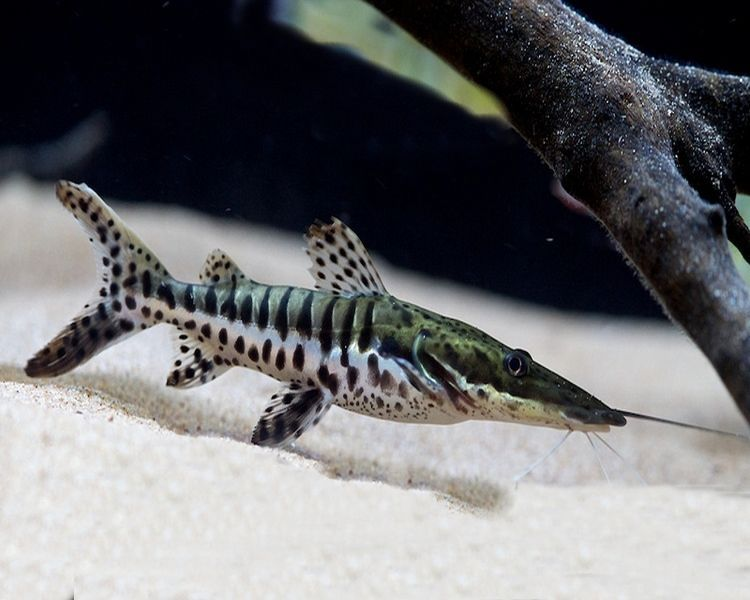 Baby Tiger Shovelnose Catfish Freshwater Fish Tropical Fish Fish Tank Coolest Freshwater Fish Pet Shop Aquarium Aquarium Catfish Freshwater Fish Aquarium Fish
