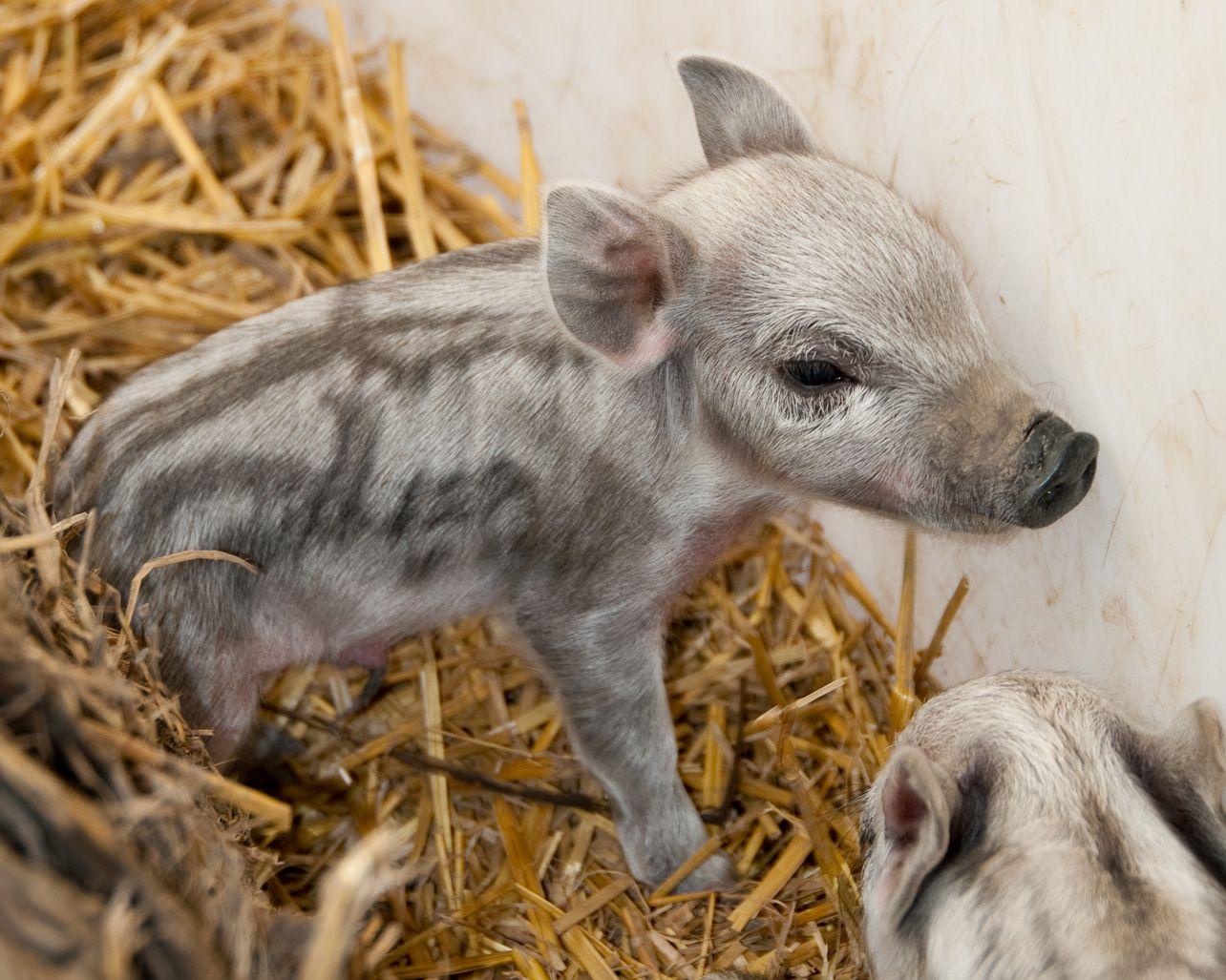 Cute Piglets Wallpaper Mangalitsa Piglets Cute Pigs Cute Piggies Baby Animals