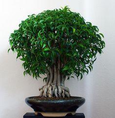 bildergebnis f r bonsai ficus natasja bonsai bonsai. Black Bedroom Furniture Sets. Home Design Ideas