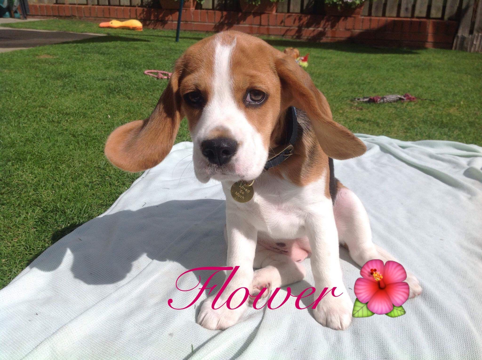 Adoptable Beagle Beagle Puppy 12 Weeks Old Flappy Ears