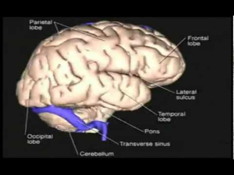 3d Human Brain Anatomy Animation Modelled Layer By Layer Ap