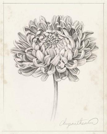 Graphite Chrysanthemum Study Ii By Grace Popp In 2020 Black And White Flower Tattoo Chrysanthemum Tattoo Chrysanthemum Flower Drawing