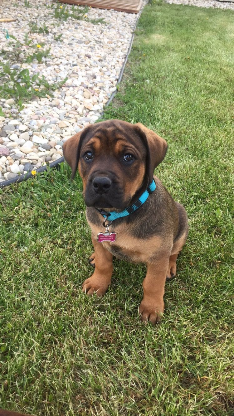 Mastweiler Puppy English Mastiff Rottweiler 9 Weeks Mastiff Mix
