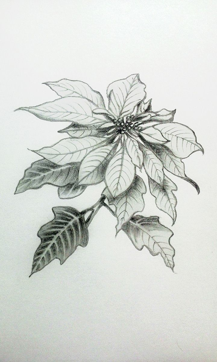 Greeting cards · my practice pencildrawings floral poinsettia flower sketches watercolor sketchbook birth flowers