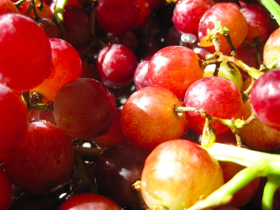 Rode druif