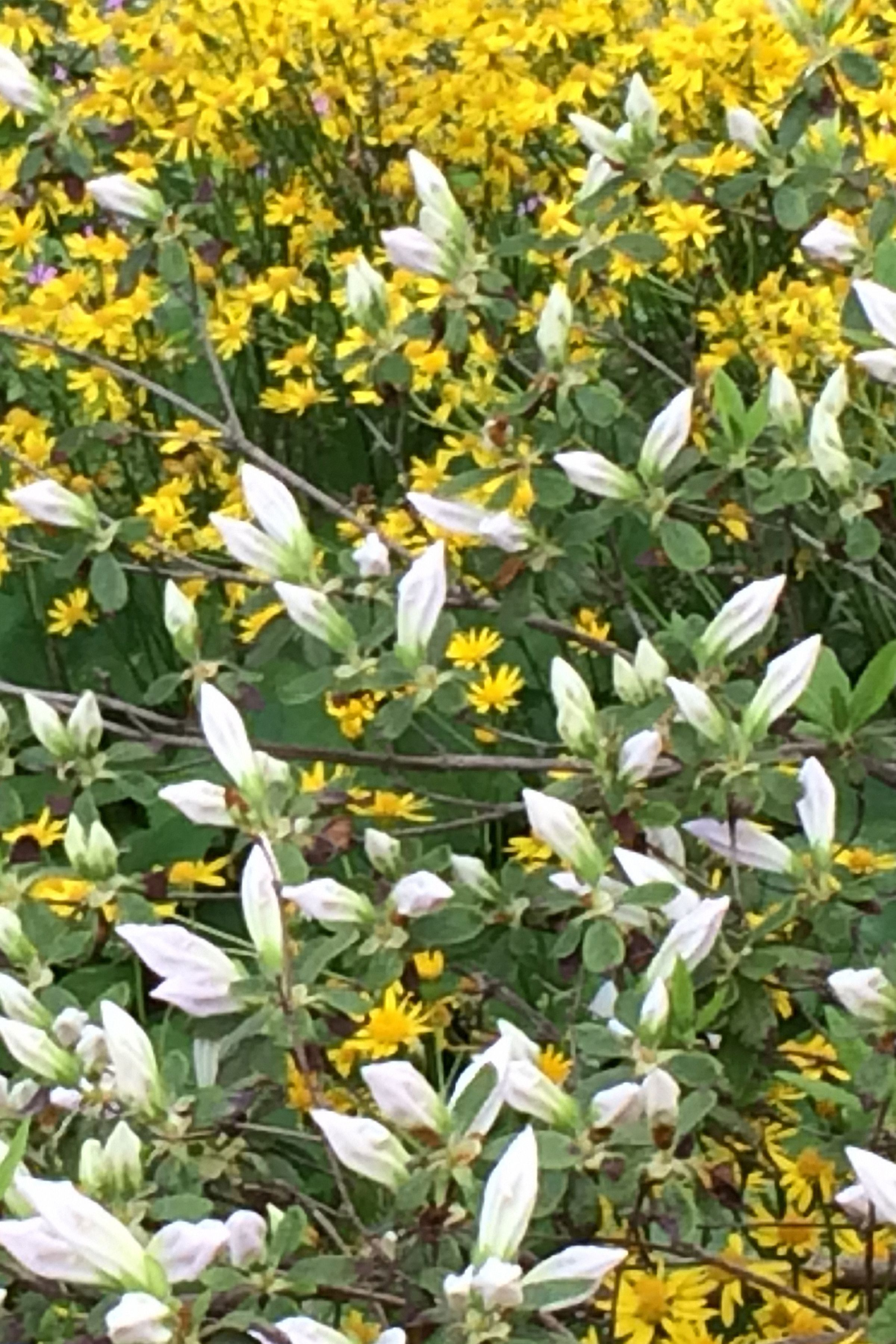 Yellow and white floragesture x