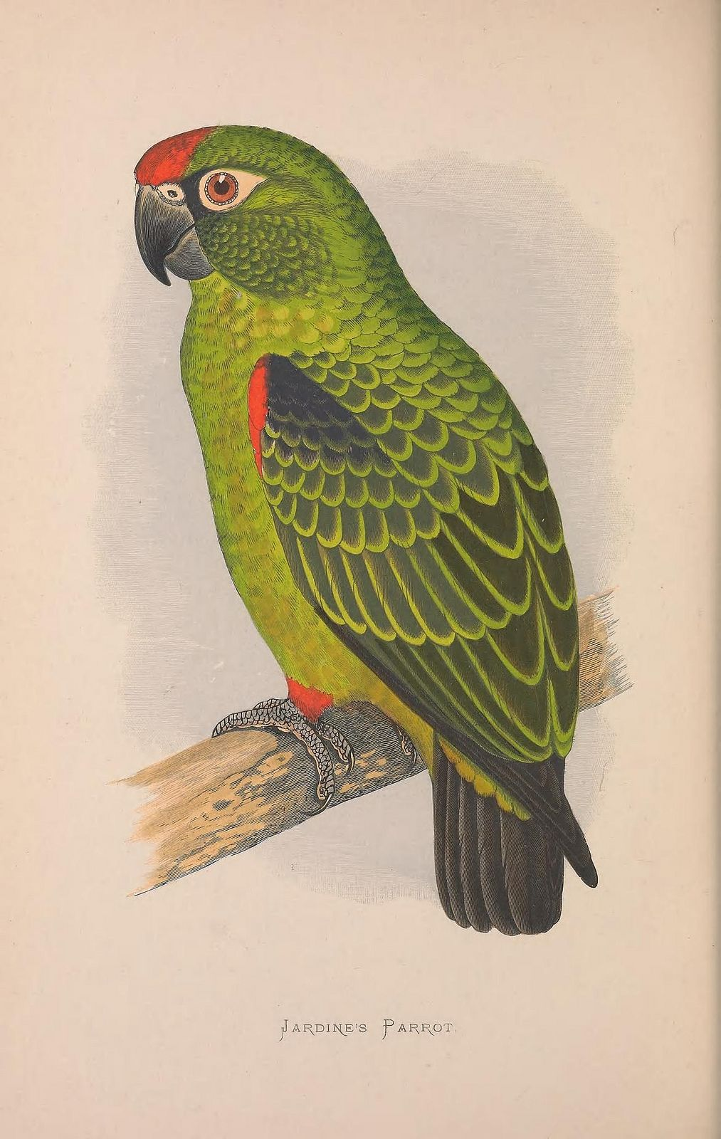 Jardine's parrot (Poicephalus gulielmi, Psittaciformes: Psittacidae: Psittacinae)