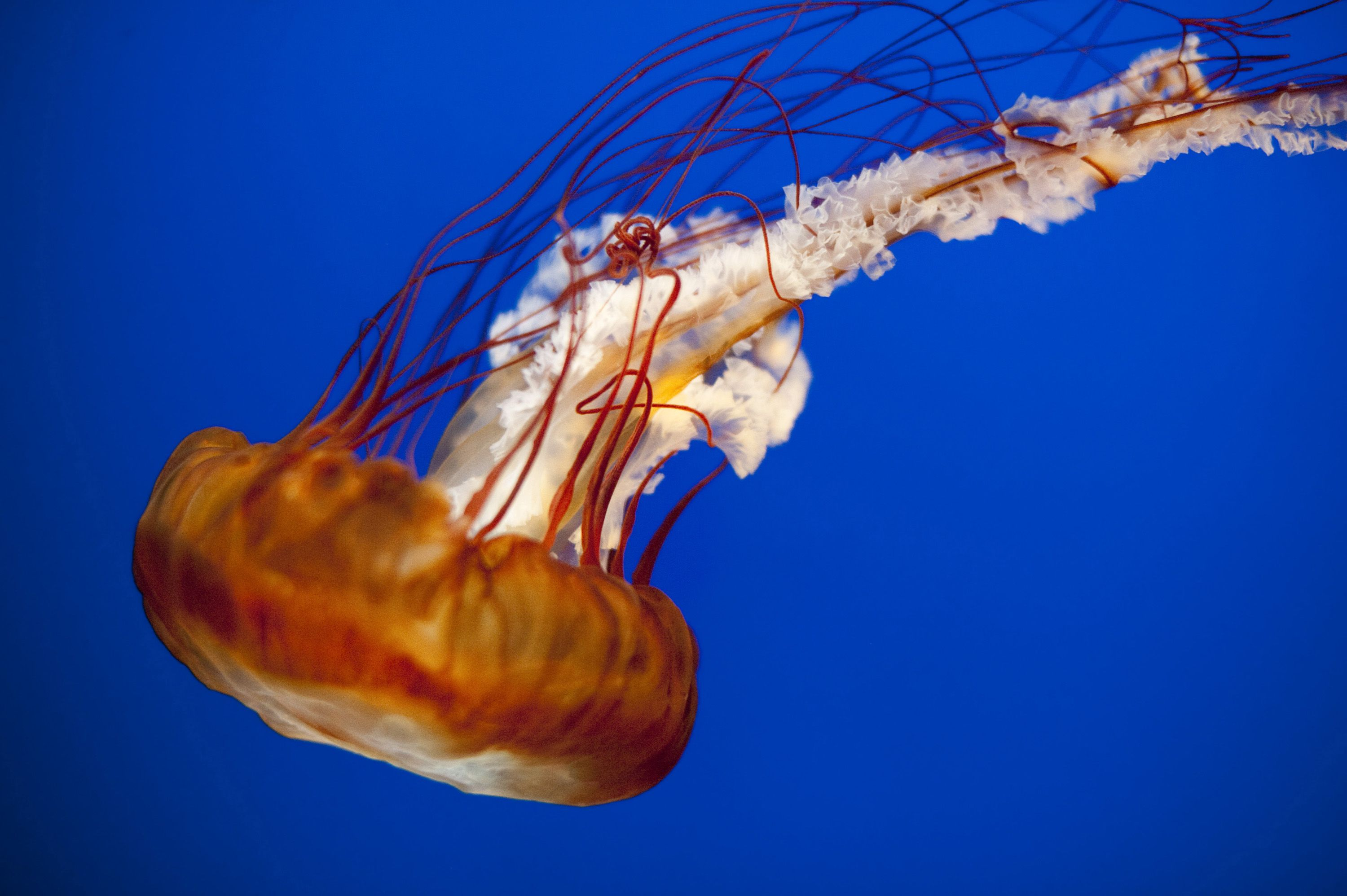 fried egg jelly fish Google Search UNDERWATER JELLY