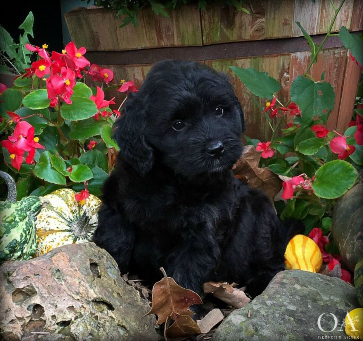 Such An Adorable Face Black Phantom Mini Goldendoodle Puppy At