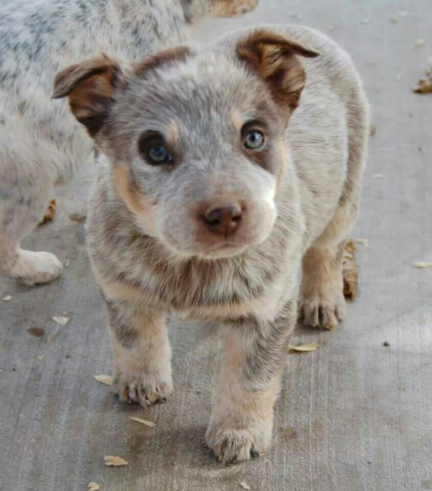 Probably The Cutest Puppy I Ve Ever Seen Heeler Puppies Cute
