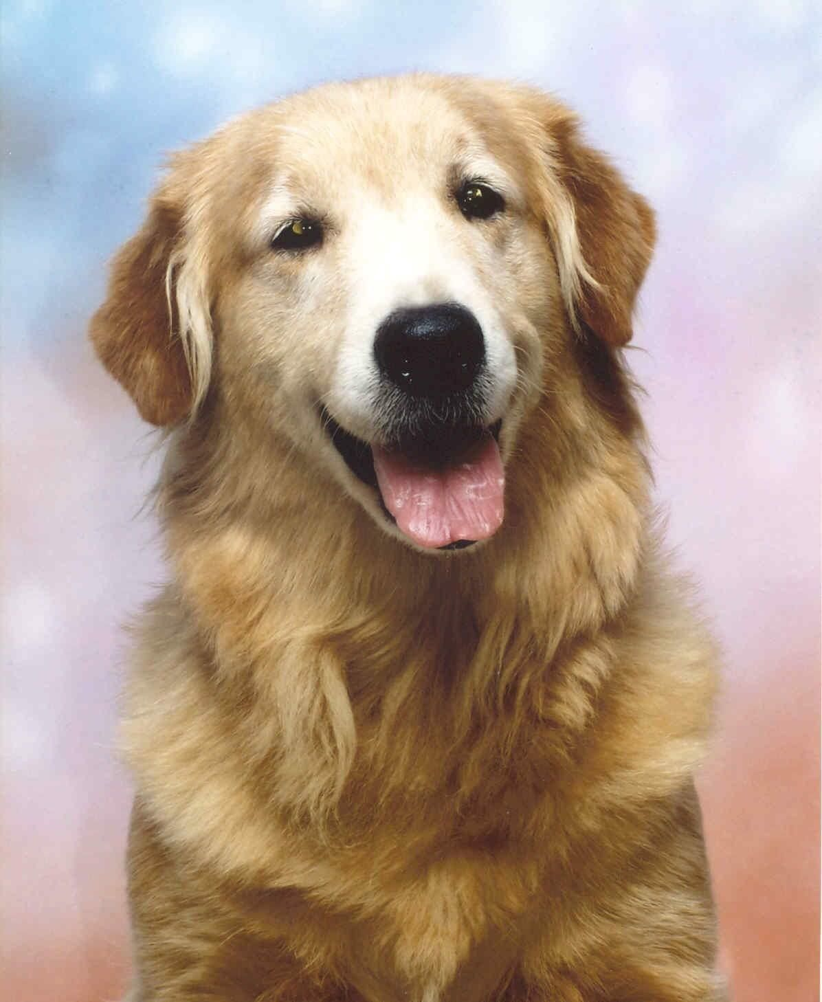 This Is A Photo Of My Very First Golden Retriever Bourbon We