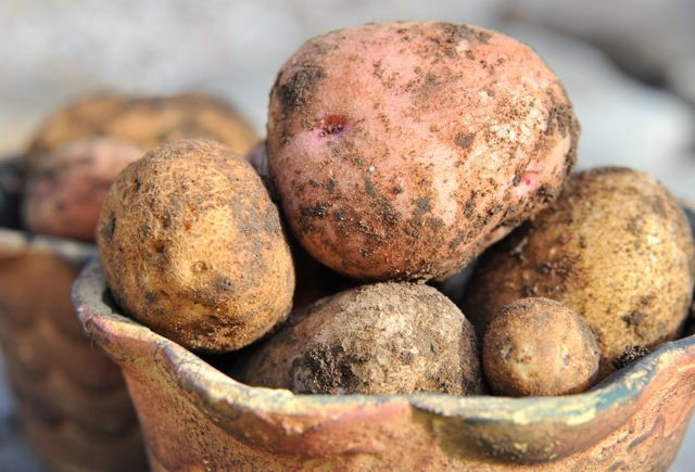 and storing, the humble potato Storing potatoes for winter-- overall, good gardening website.Storing potatoes for winter-- overall, good gardening website.