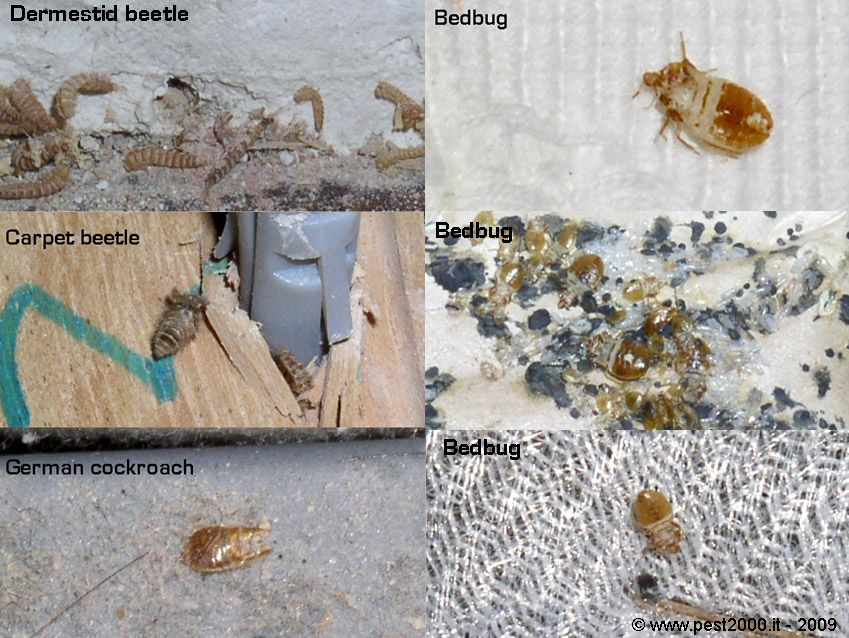 What do bed bug cast skins look like? Bed bugs, It cast