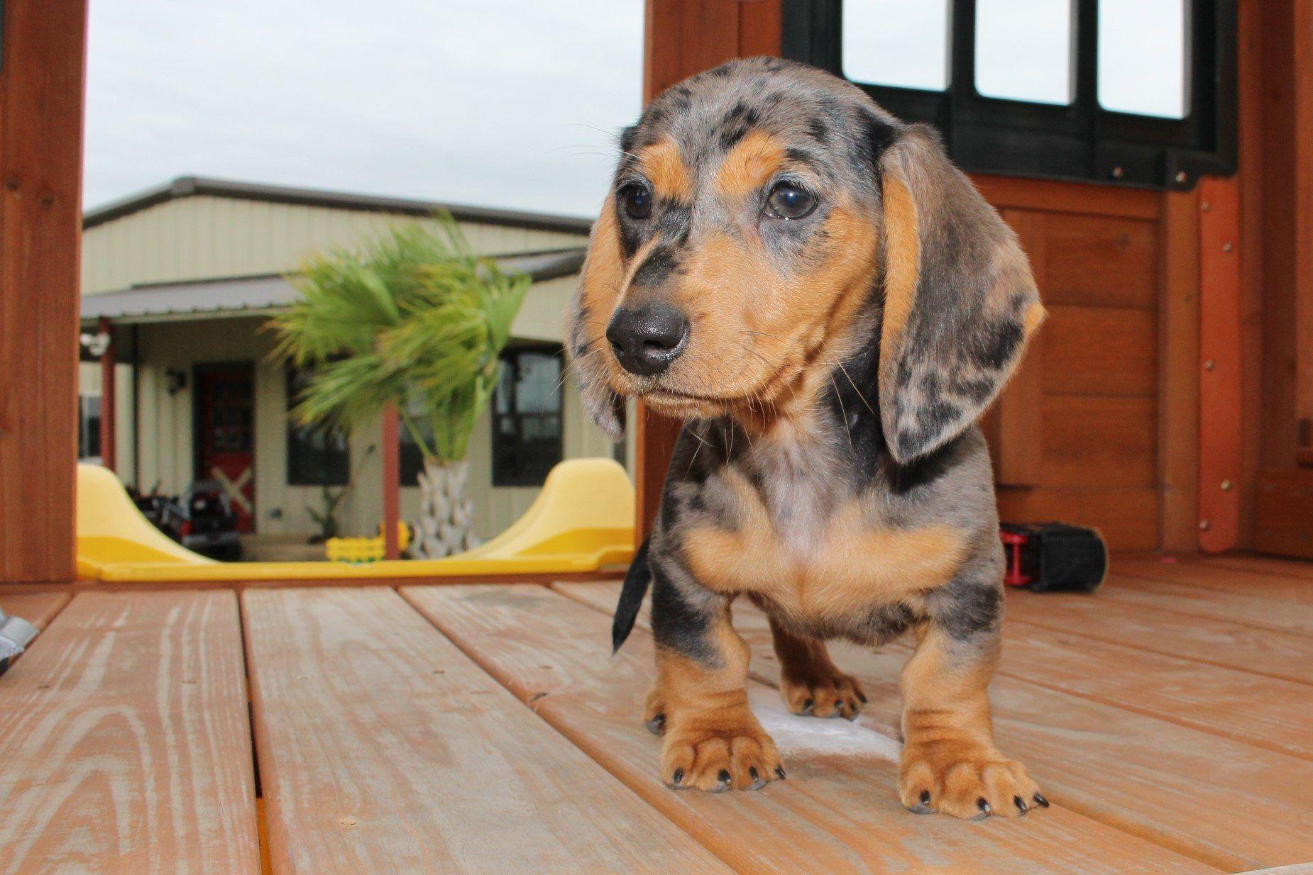 Cavapoo Puppies Tampa Florida 2021