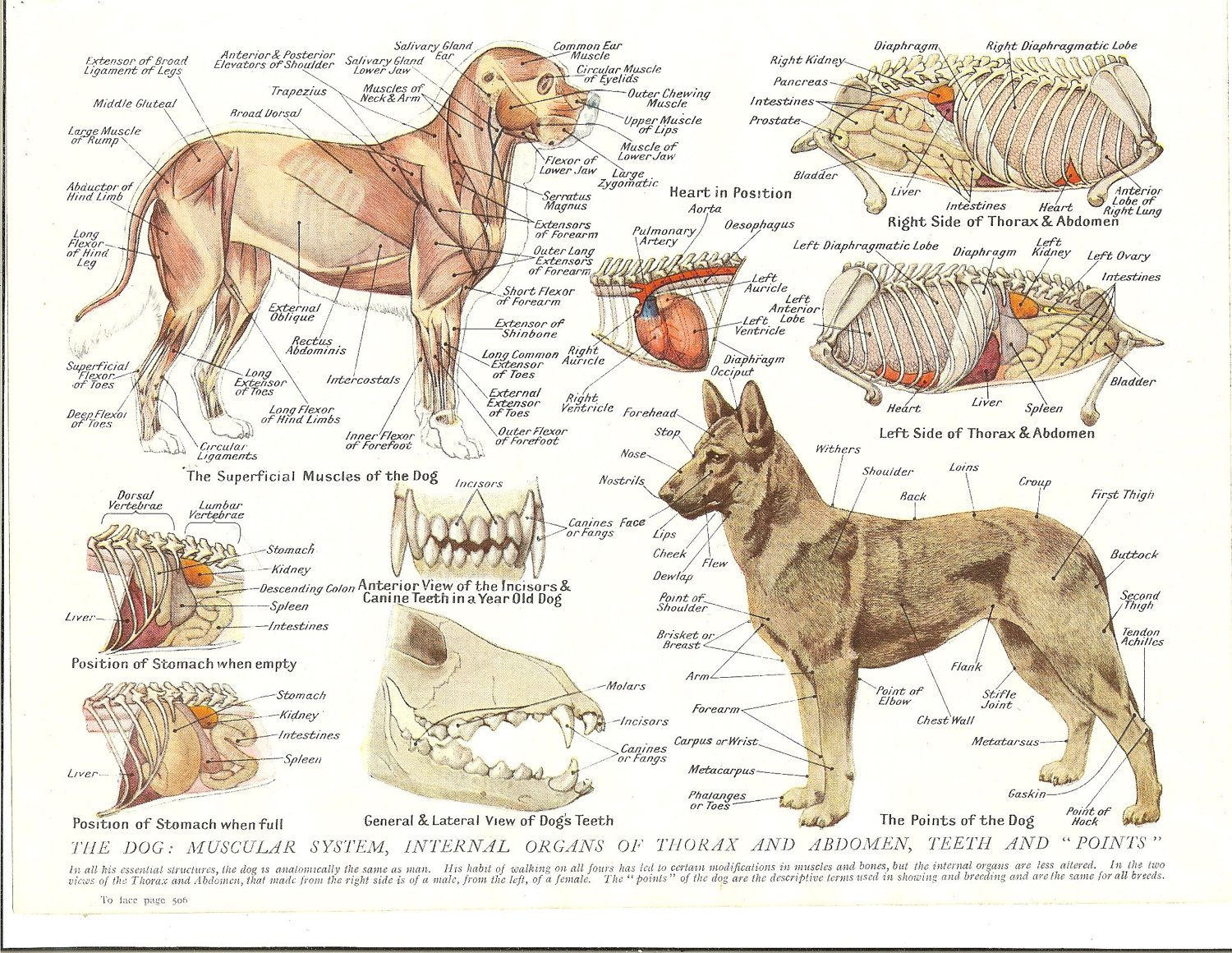 Dog anatomy in detail include muscle skeleton internal organ and the ...