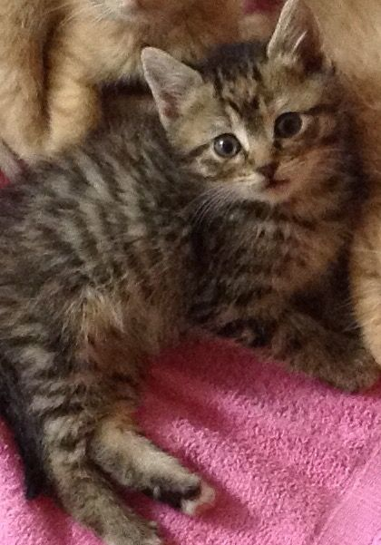 Adopt Casey On Petfinder Tabby Cat Animal Shelter Cat Adoption