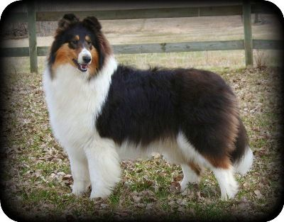 Pin by Cindi Flaeschel on Collies in 2020 Collie puppies