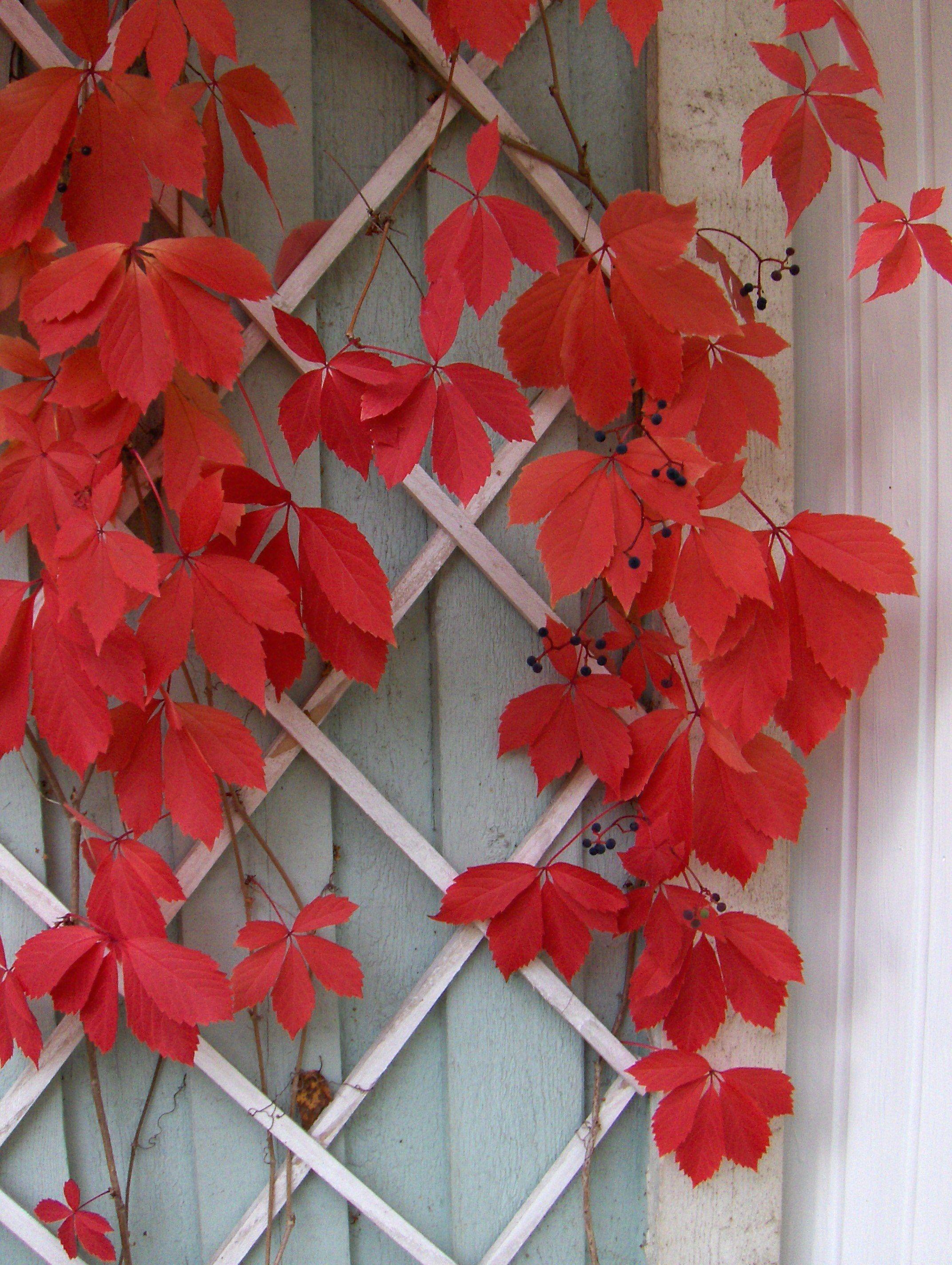 Säleikkövilliviini syksyllä