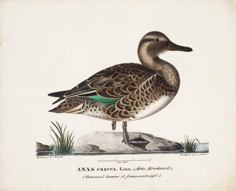 """""""Old Male Common Teal in Summer"""" 1828 - """"Vanha koirastavi kesäpuvussa""""  – litography, watercolor - litografia, maalattu vesivärein –   Wilhelm von Wright  (1810-1887) - Ateneumin taidemuseo"""