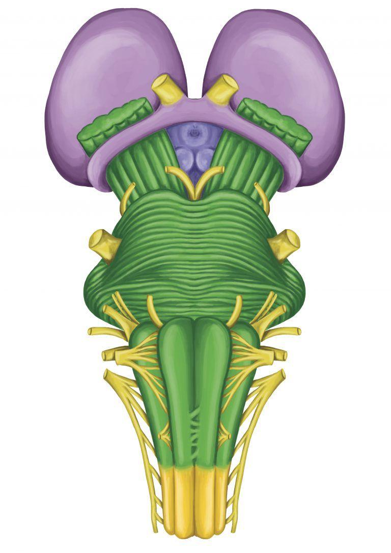 La función del tallo cerebral | tallo cerebral | Pinterest | Las ...