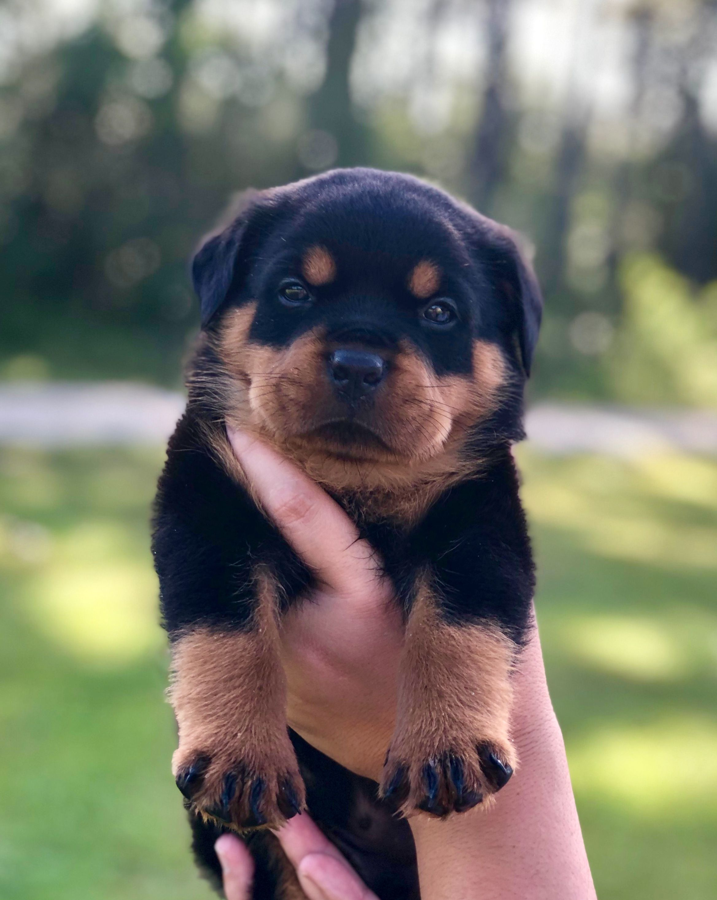 Pin By Mississippi Rottweilers On Rottweiler Puppies For Sale