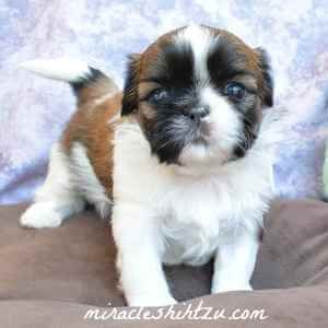 Shih Tzu Puppies For Sale In N E Ohio Shih Tzu Puppy Shih Tzu Puppies For Sale